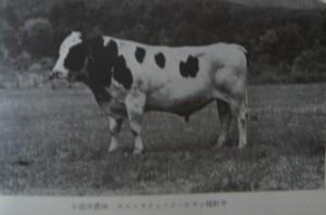 ホルスタイン種牡牛