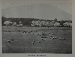 小岩井農場緬羊放牧状況