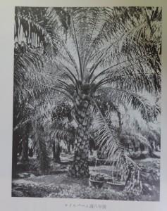 オイルパーム満8年樹