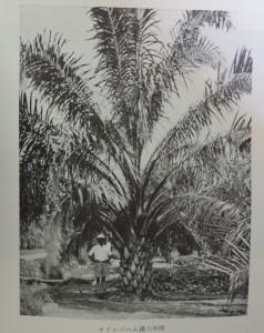 オイルパーム満6年樹