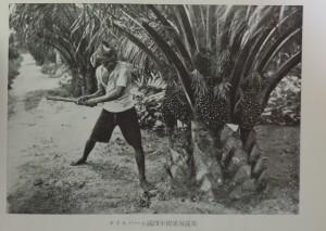 オイルパーム満4年樹果房採取