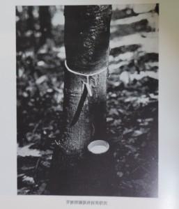 芽接樹ゴム液採集状況